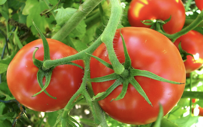 Why a WaterUps® wicking bed is best for growing tomatoes