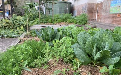 Wicking beds are ideal for school veggie gardens